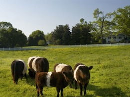 """Belties"" grazing at Fearrington Village"