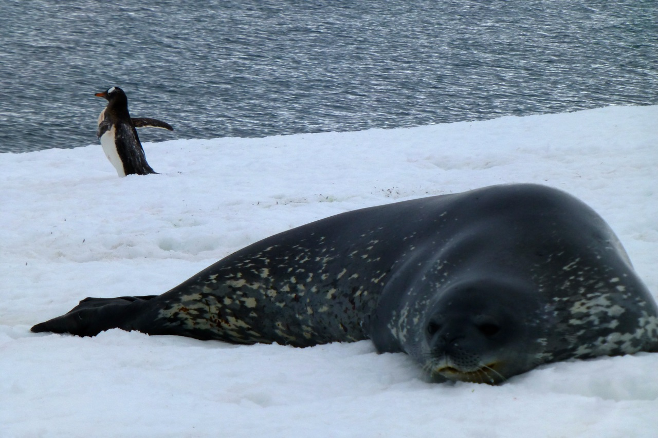 antarctica-seal and penguin